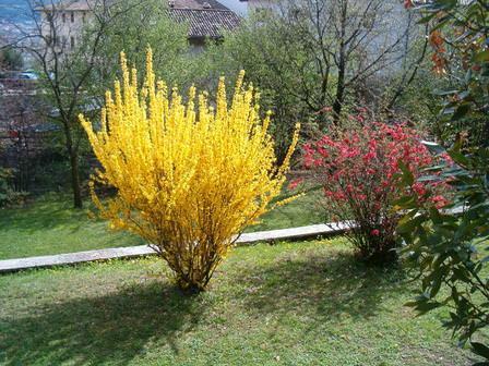 درختچه یاس زرد