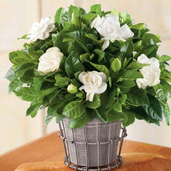 گل گاردانیا