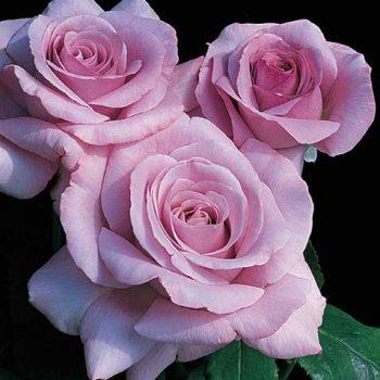گل رز چای Tea Roses
