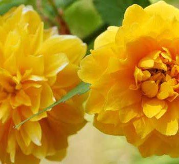 رز ژاپنی Japanese Kerria Rose