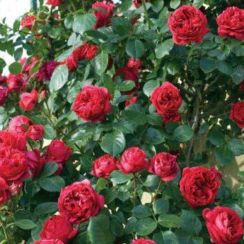 رز سرخ بهشتی Red Eden Rose