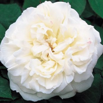 رز وینچستر کاتدرال Winchester Cathedra Rose