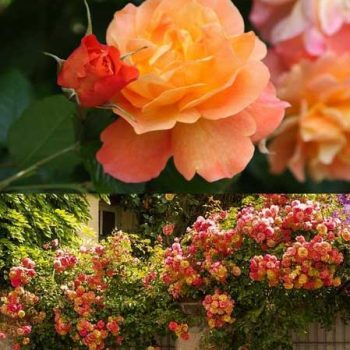 ) گل رز چند رنگ ( Joseph's Coat Rose)