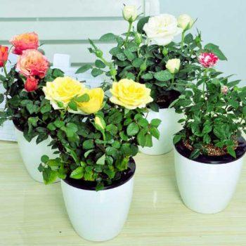 رز مینیاتوری Miniature Roses