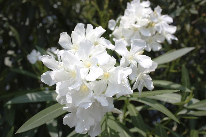 گل خرزهره سفید