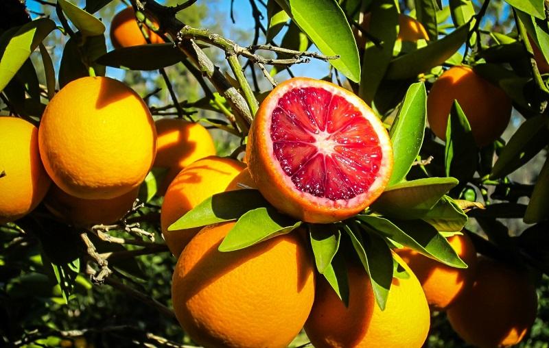 نهال پرتقال تو سرخ